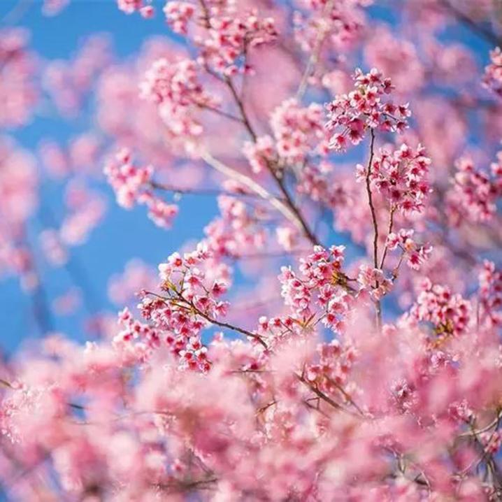 清迈樱花季|十二月来清迈赏全球最早的樱花,堪称人间仙境