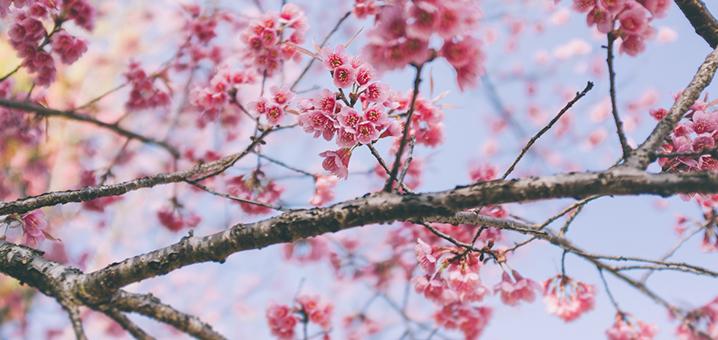 盘点泰国最美的赏花地,总有一个你想去!