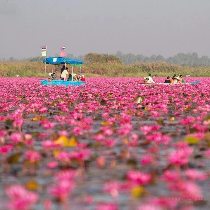 泰国小众景点乌隆他尼攻略,泛舟5000亩红莲花海